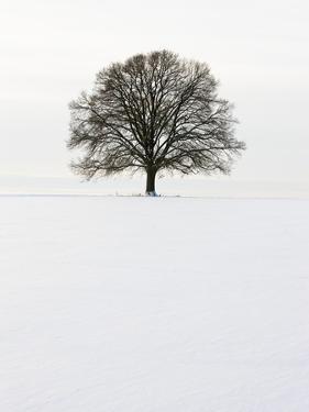 Old oak tree on a field in winter by Frank Lukasseck
