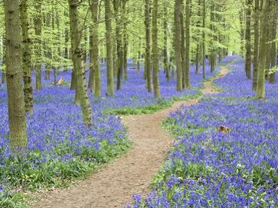 Path Winding Through Beech Forest and Bluebells