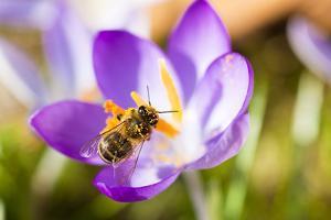 Pink Crocus Flower and Honeybee by Frank Lukasseck