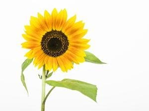 Sunflower by Frank Lukasseck