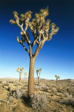 USA, California, Joshua Tree National-Park, Landscape, Trees by Frank Lukasseck