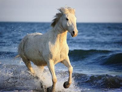 Wild Camargue Horse Running on Beach