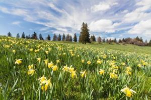 Wild Daffodil on Alpine Meadow by Frank Lukasseck