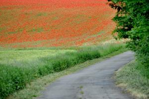 A Field of Red Poppy Flowers by Frank May
