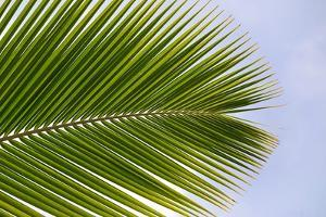 Leaf of a Palm Tree at a Beach on the Caribbean Island of Grenada by Frank May