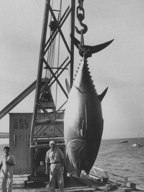 337 Lb. Tuna Caught at Cabo Blanco, Peru by Member of the Cabo Blanco Fishing Club by Frank Scherschel