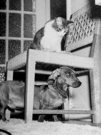 """Rudy the Dachshund and Trudy the Cat Engaged in Hide and Seek Or """"Pounce on the Dog"""" by Frank Scherschel"""
