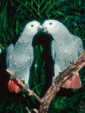 African Grey Parrot, Pet Portrait, California, USA by Frank Schneidermeyer