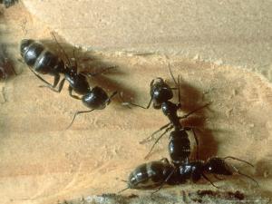 Carpenter Ants, Nests in Fallen Log, California, USA by Frank Schneidermeyer