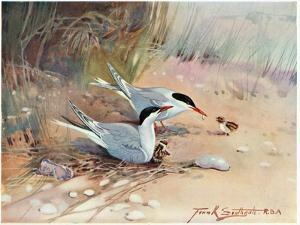 Common Tern, Illustration from 'Wildfowl and Waders' by Frank Southgate