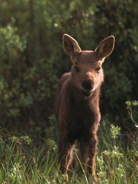 Baby Moose, Grand Teton National Park, WY by Frank Staub