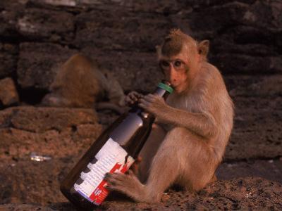 Monkey with Beer Bottle, Lopburi, Thailand