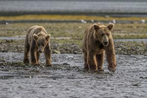 USA, Alaska, Katmai National Park. Grizzly Bear cubs looking for food. by Frank Zurey