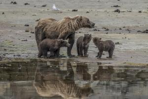 USA, Alaska, Katmai National Park. Grizzly Bear mom with triplet cubs. by Frank Zurey