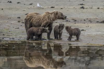USA, Alaska, Katmai National Park. Grizzly Bear mom with triplet cubs. by Frank Zurey