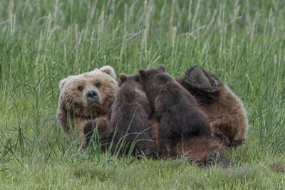 USA, Alaska, Katmai National Park, Hallo Bay. Coastal Brown Bear nursing by Frank Zurey