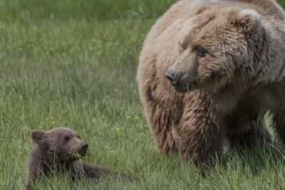 USA, Alaska, Katmai National Park, Hallo Bay. Coastal Brown Bear with cub by Frank Zurey