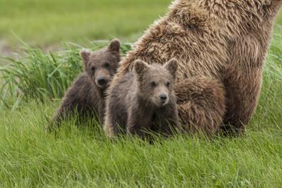 USA, Alaska, Katmai National Park, Hallo Bay. Coastal Brown Bear with twins by Frank Zurey