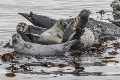 USA, Alaska, Katmai National Park. Harbor Seal resting on seaweed. by Frank Zurey