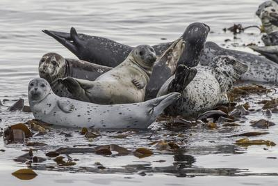 USA, Alaska, Katmai National Park. Harbor Seal resting on seaweed.