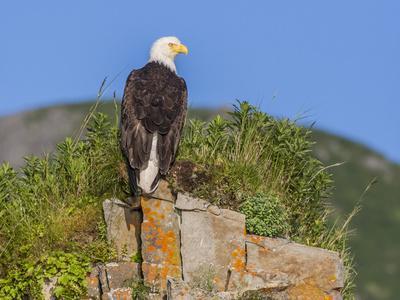 USA, Alaska, Katmai National Park, Kukak Bay. Bald Eagle