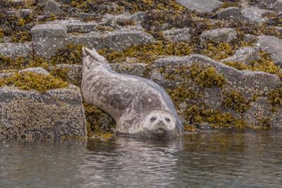 USA, Alaska, Katmai National Park, Kukak Bay. Harbor Seal by Frank Zurey