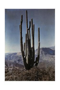 A Cactus Stands Tall in the Desert by Franklin Price Knott