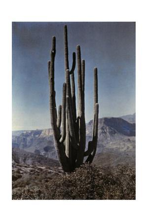 A Cactus Stands Tall in the Desert
