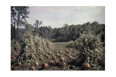 Harvested Pumpkins Lay in a Field of Drying Corn Shocks