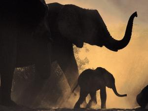 African Elephant and Young, Chobe National Park, Botswana by Frans Lanting