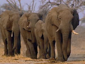 African Elephants Walking, Chobe National Park, Botswana by Frans Lanting