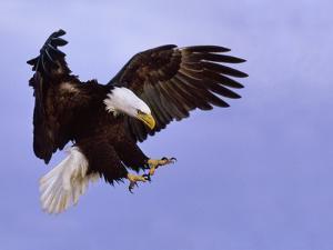 Bald Eagle Landing, Haliaeetus Leucocephalus, Southeast Alaska by Frans Lanting