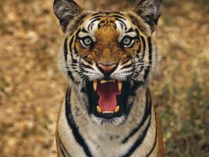 Bengal Tiger Snarling, Western Ghats, India by Frans Lanting