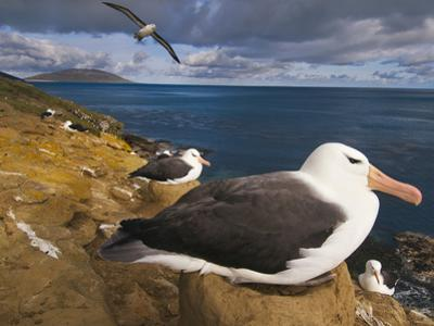 Black-Browed Albatrosses Nesting, Thalassarche Melanophrys, Saunders Island, Falkland Islands