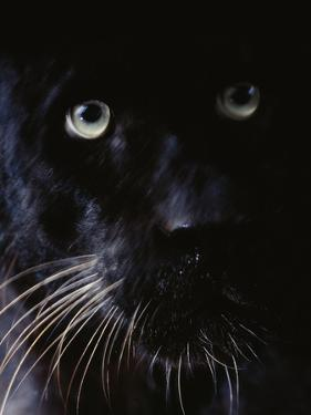 Black Leopard, Panthera Pardus, Native to Africa and Asia by Frans Lanting