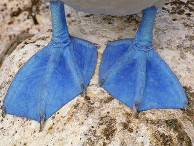Blue-Footed Booby Feet, Sula Nebouxii, Galapagos Islands by Frans Lanting