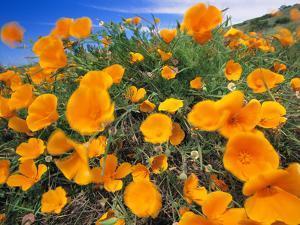 California Poppies, Eschscholzia Californica, Big Sur, California by Frans Lanting