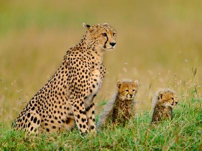 Cheetah and Cubs, Acinonyx Jubatus, Kenya by Frans Lanting