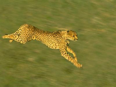 Cheetah Running, Acinonyx Jubatus, Kenya by Frans Lanting