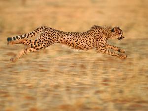 Cheetah Running, Acinonyx Jubatus, Namibia by Frans Lanting