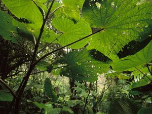 Cloud Forest Undergrowth, Monteverde Cloud Forest Preserve, Costa Rica by Frans Lanting