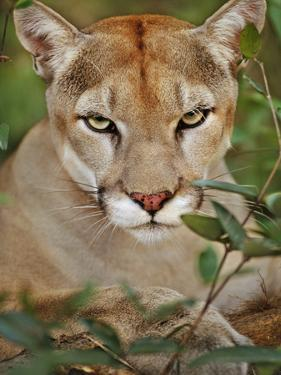 Cougar, Belize by Frans Lanting