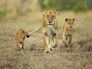 Cub Holding onto Lioness Tail, Panthera Leo, Masai Mara Reserve, Kenya by Frans Lanting