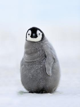 Emperor Penguin Chick, Aptenodytes Forsteri, Antarctica by Frans Lanting