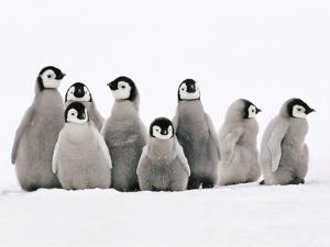 Emperor Penguin Chicks, Aptenodytes Forsteri, Weddell Sea, Antarctica by Frans Lanting