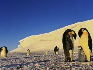 Emperor Penguin Family, Weddell Sea, Antarctica by Frans Lanting