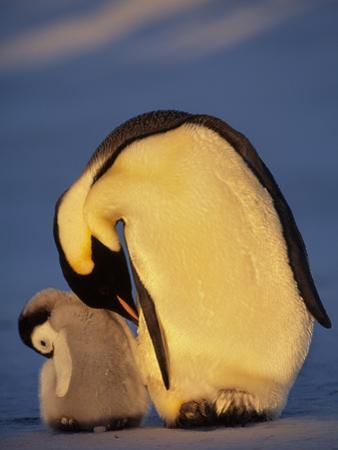 Emperor Penguin with Chick, Aptenodytes Forsteri, Antarctica by Frans Lanting