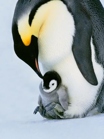 Emperor Penguin with Chick on Feet, Weddell Sea, Antarctica