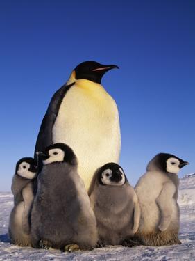 Emperor Penguin with Chicks, Aptenodytes Forsteri, Antarctica by Frans Lanting