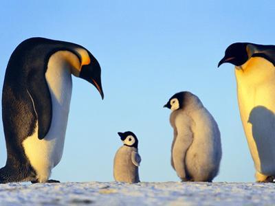 Emperor Penguins Showing Paternal Response to Puppet, Aptenodytes Forsteri, Weddell Sea, Antarctica by Frans Lanting